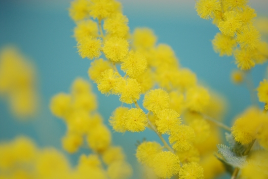 Mimosa also called acacia