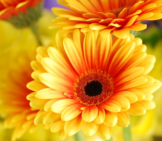 2-Toned Yellow with Orange Gerbera Daisy