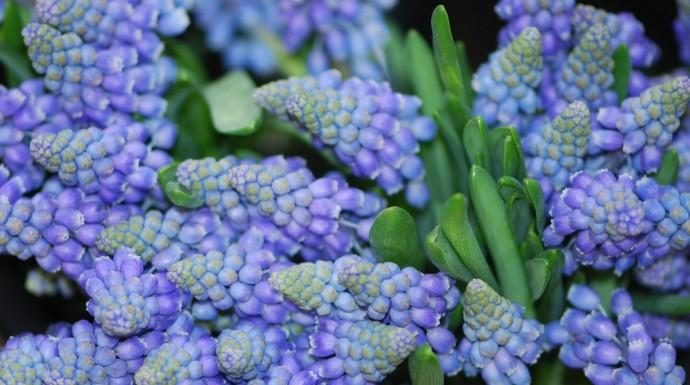 MuscariGrape Hyacinth
