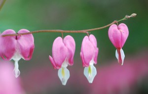 bleeding-hearts-042