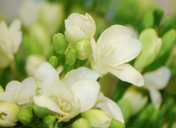 Freesia, single white
