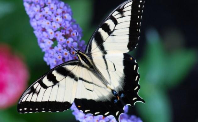 butterflybush