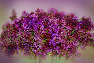lilacs-assorted
