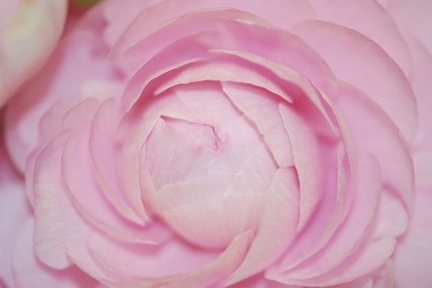 Ranunculus 022.JPG