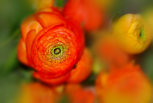 ranunculus-assorted