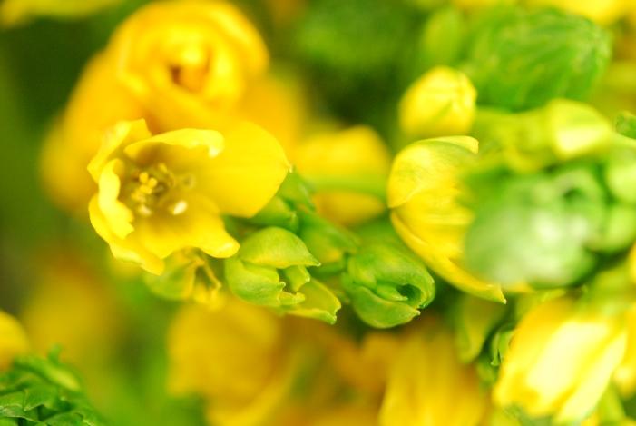 Ornithogalum, yellow(Star of Bethlehem)