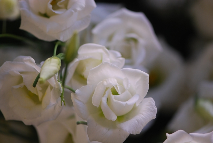 Lisianthus, white