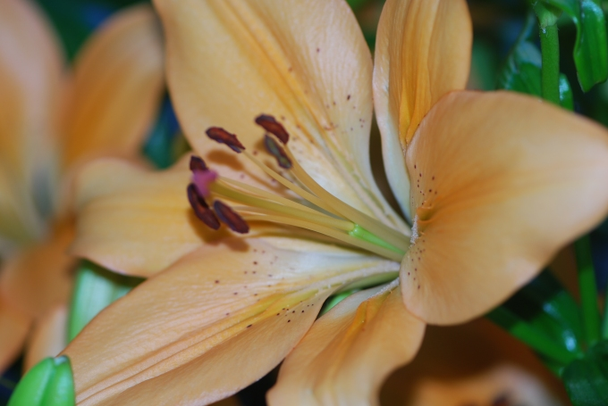 Lily, orange Asiatic