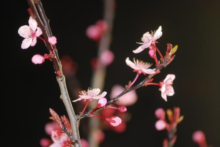 Prunus Blooming Branch