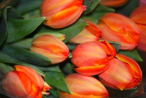 tulips-ad-rem