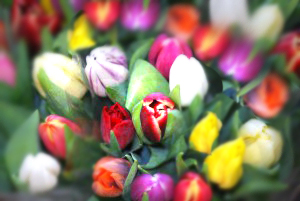 tulips-assorted