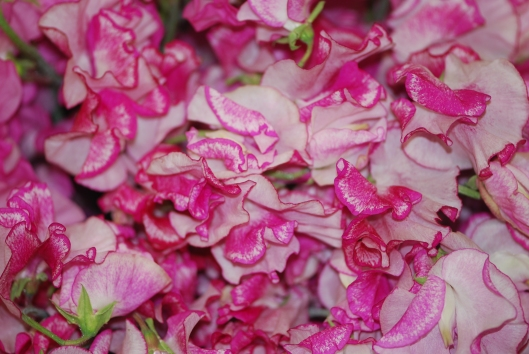 Variegated bright pink sweet pea from Holland