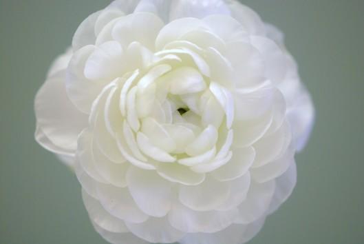 Ranunculus - white