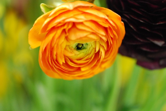 "Ranunculus - and Orange and ""Pauline Violet"""