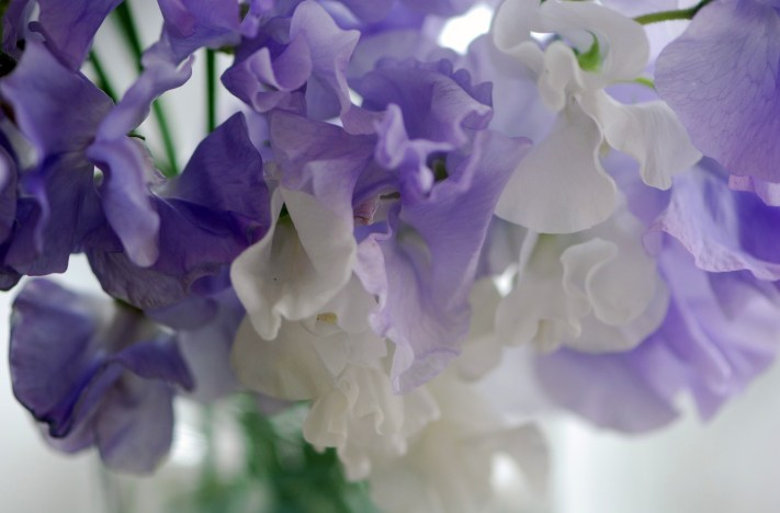 Sweet Peas - lavender and white
