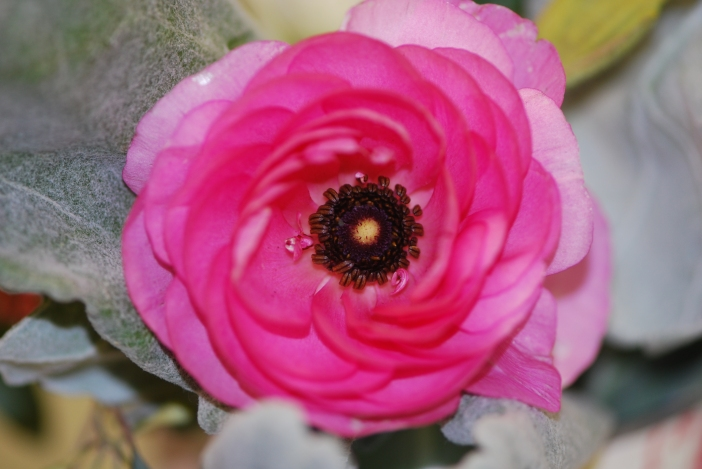 Ranunculus - hot pink