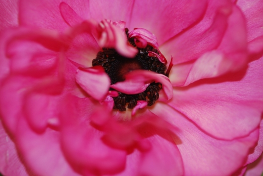 Ranunculus - hot pink