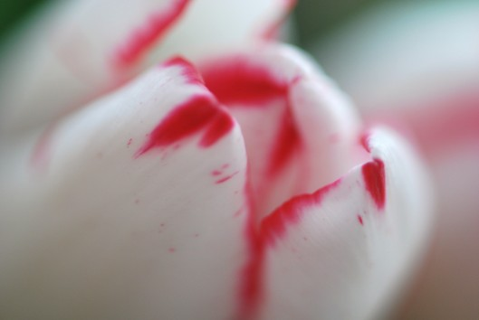Tulips 002