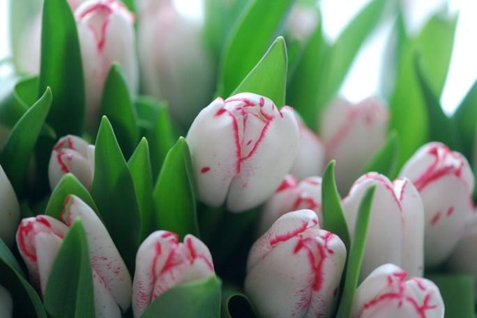 TulipsDenise