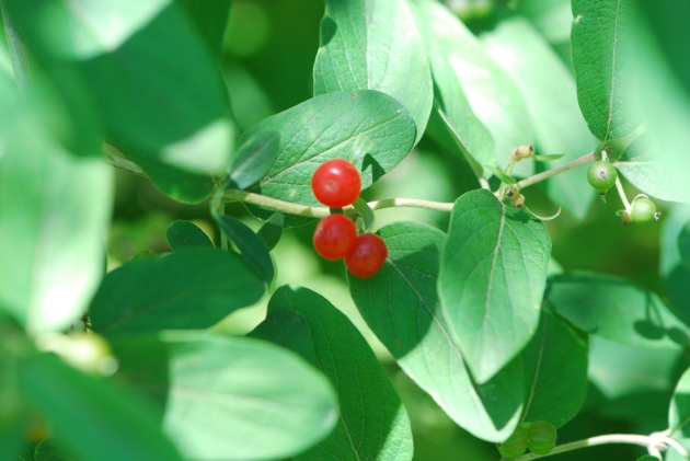 Red Cottage Berries