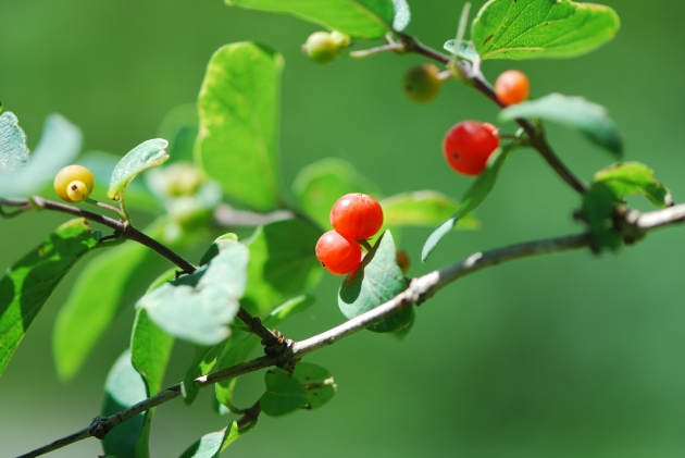 Red Cottage Berry Branch