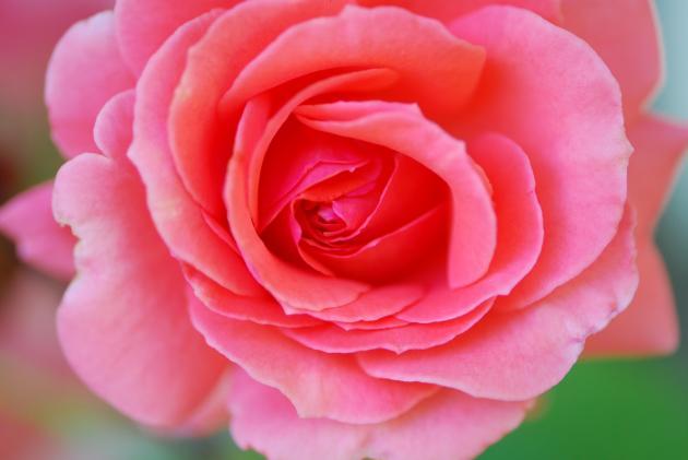 Red Cottage Rose