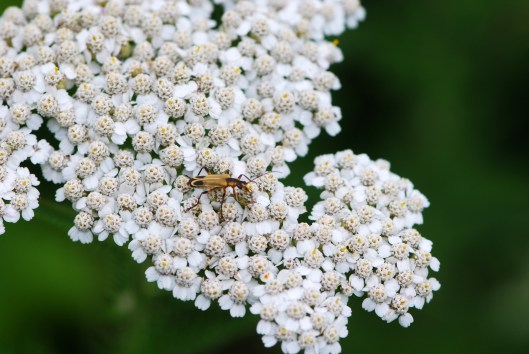 Cottage Yarrow