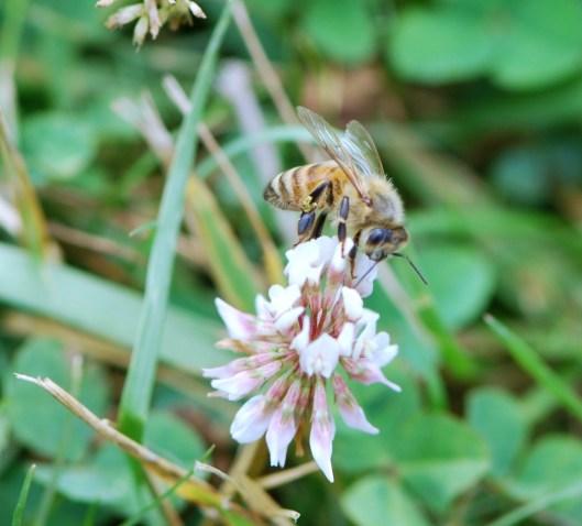HoneybeeonClover