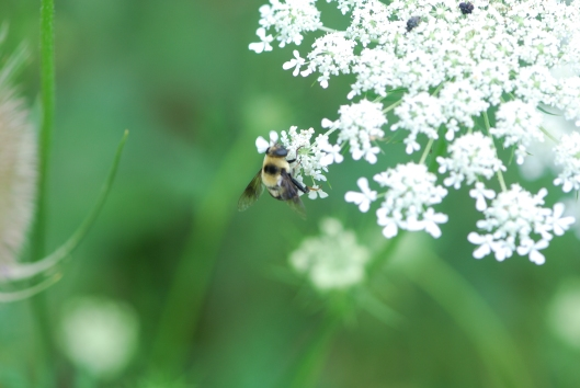 Bee on Queen Ann's Lace