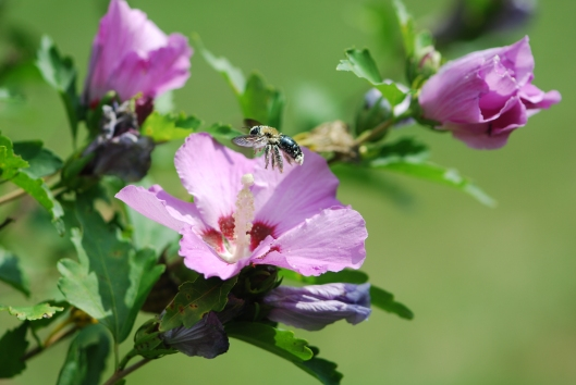 Bee on RoseOfSharon