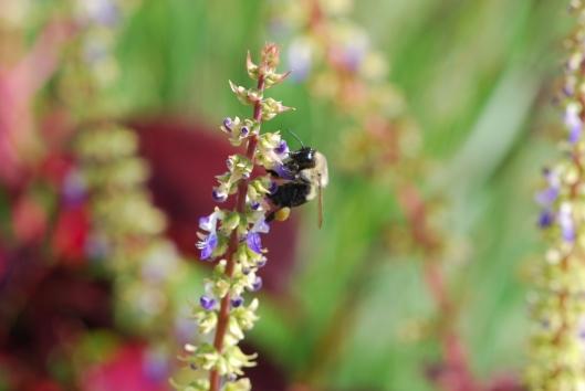 Bee on Salvia (2)