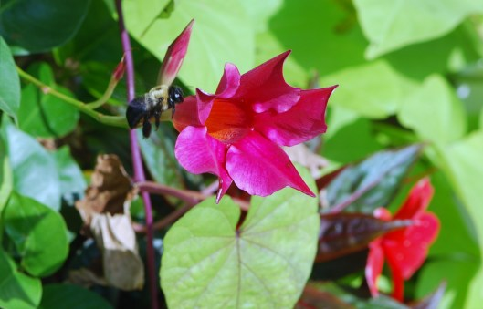 Bee on Trumpet Vine (2)