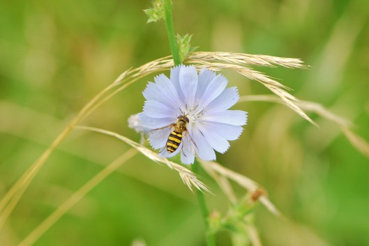 Bee on Wildflower