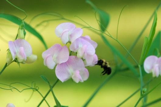 Bees on Sweet Peas