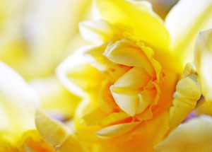 YellowDaffodil