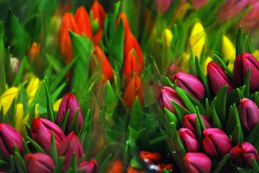 tulipsJan 007