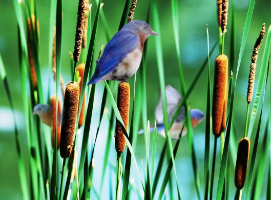 Blue Birds CON_edited-1