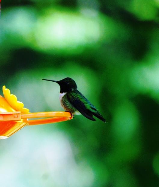 Hummingbird CoN