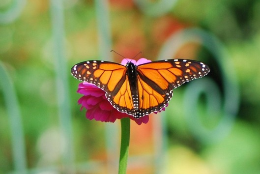 Monarch Butterfly2