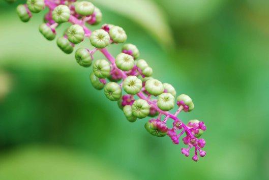 Purple Pokeweed