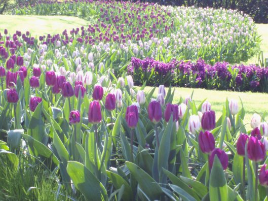 Holland Trip Purple Tulips
