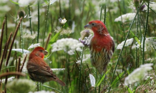 Red Finches con_edited-1