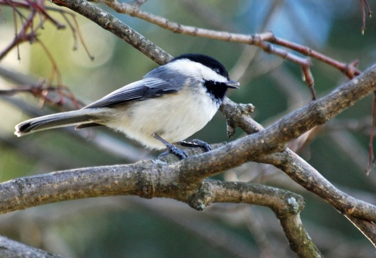 Black Capped 1