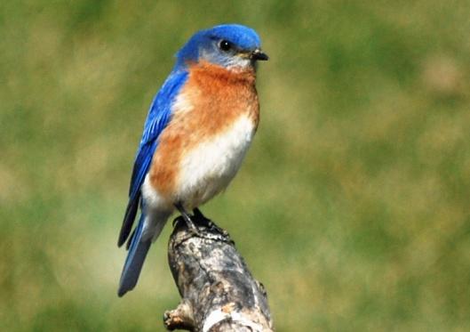 Eastern Bluebird 1