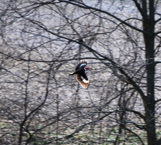 Pileated Flying