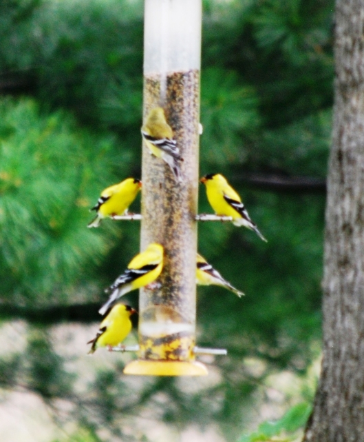 Finches 6