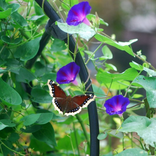 Mourning Cloak on Flowers